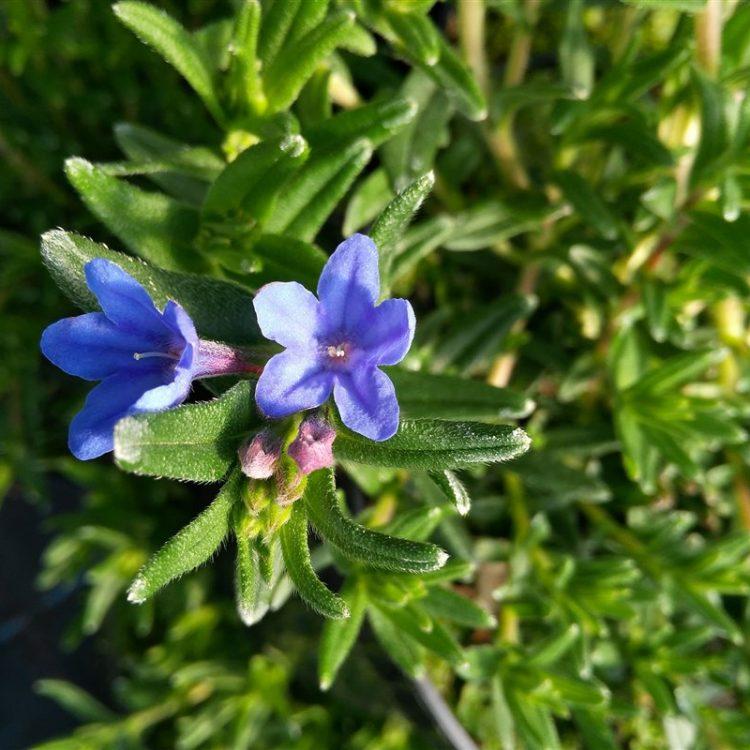 Lithodora d. 'Heavenly Blue' picture 3