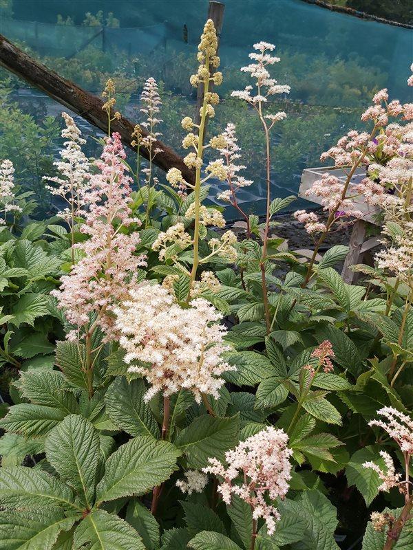 Rodgersia aesculifolia picture 4