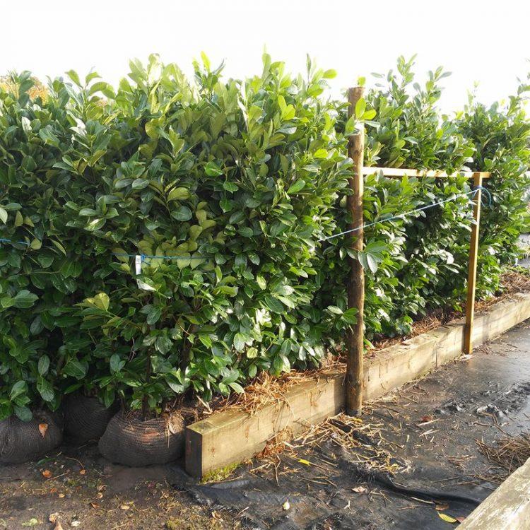 Prunus l. 'Rotundifolia' picture 3