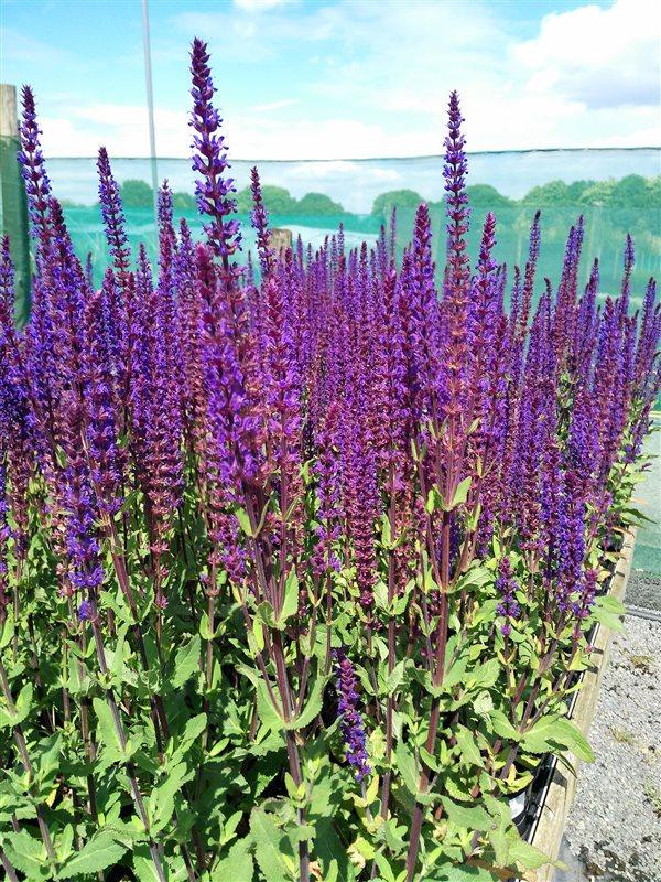 Salvia nemorosa Caradonna picture 2