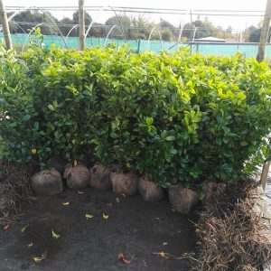 Prunus l. 'Rotundifolia'