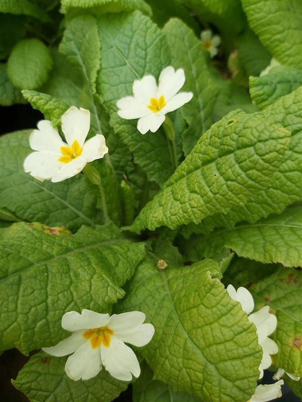 Primula vulgaris picture 3