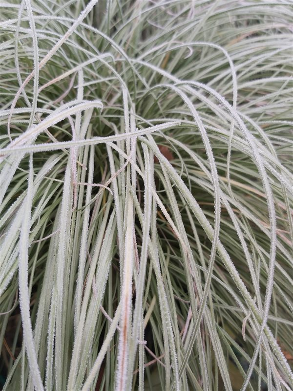 Carex comans 'Frosted Curls' picture 5