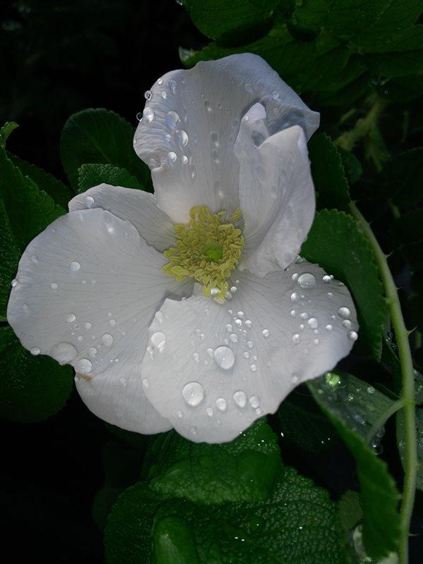 Rosa rugosa picture 2