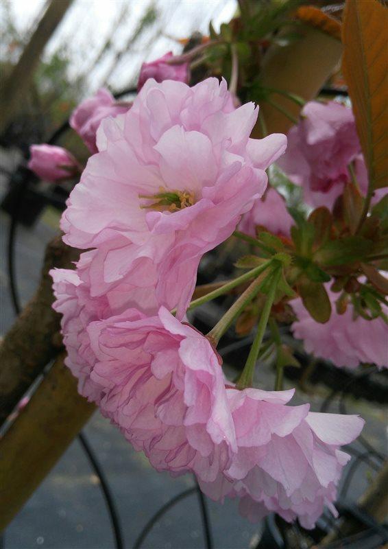Prunus serr. 'Kanzan' picture 7