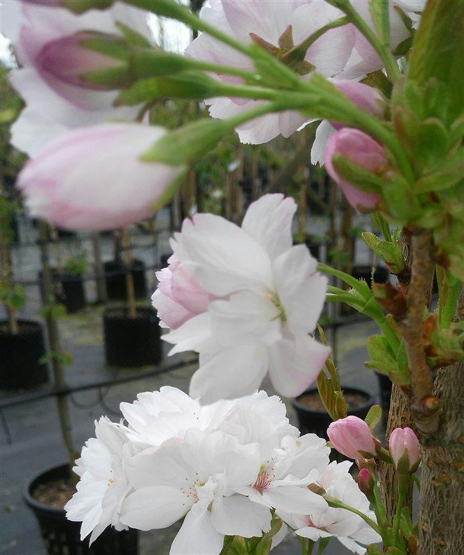 Prunus serr. 'Amanogawa' picture 3