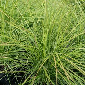 Miscanthus sin. 'Cute One'