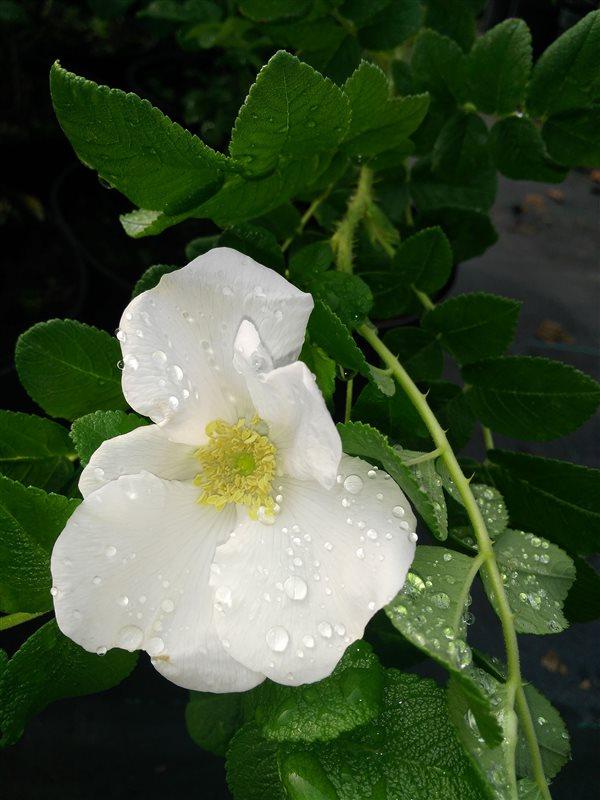 Rosa rugosa picture 4