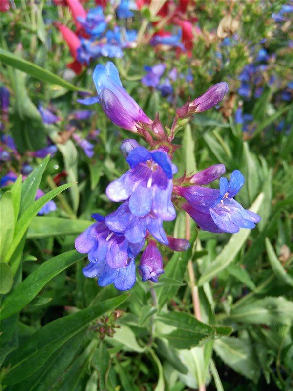 Penstemon 'Heavenly Blue' picture 4
