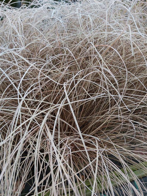 Carex comans 'Bronze Form' picture 3