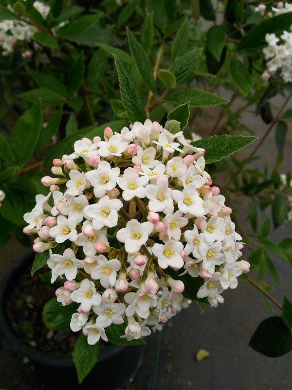 Viburnum burkwoodii* picture 3