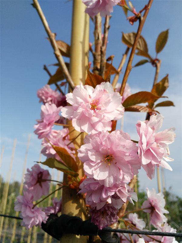 Prunus serr. 'Kanzan' picture 4