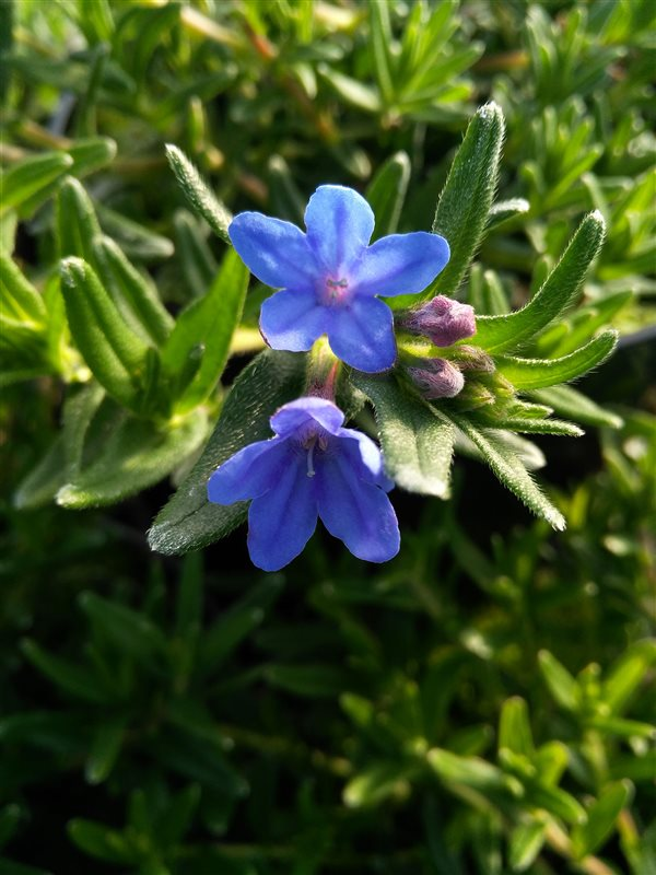 Lithodora d. 'Heavenly Blue'