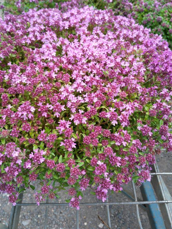 Thymus serpyllum picture 3