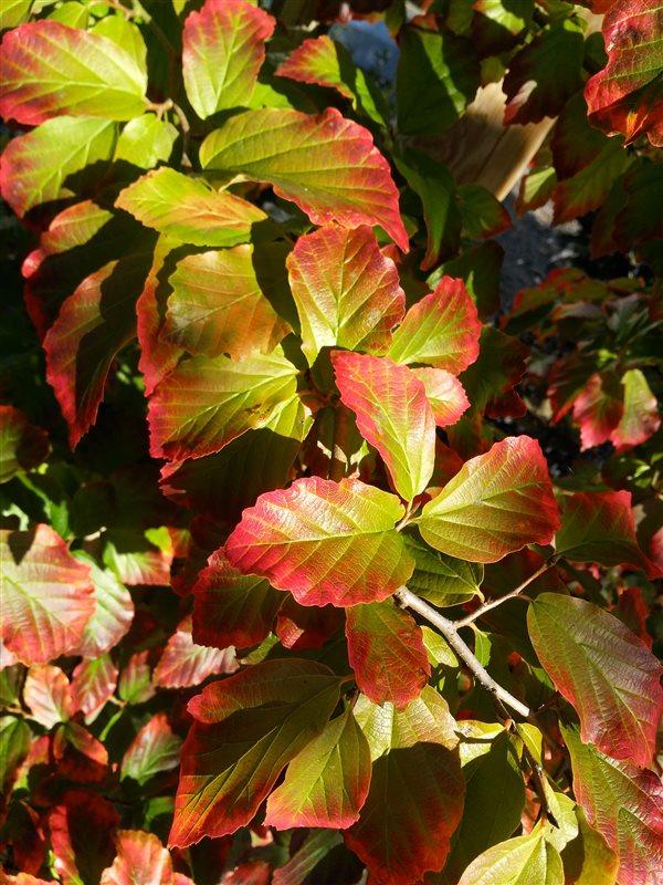 Parrotia persica picture 2