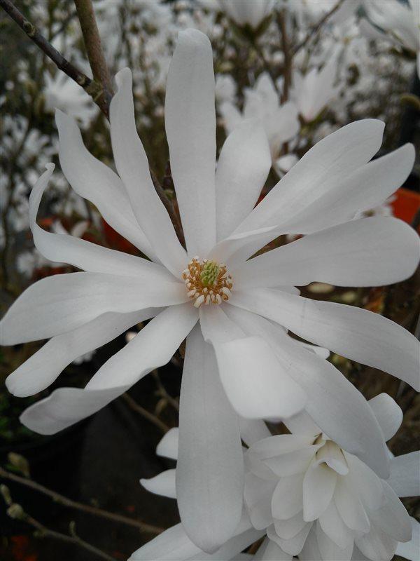 Magnolia stellata picture 3