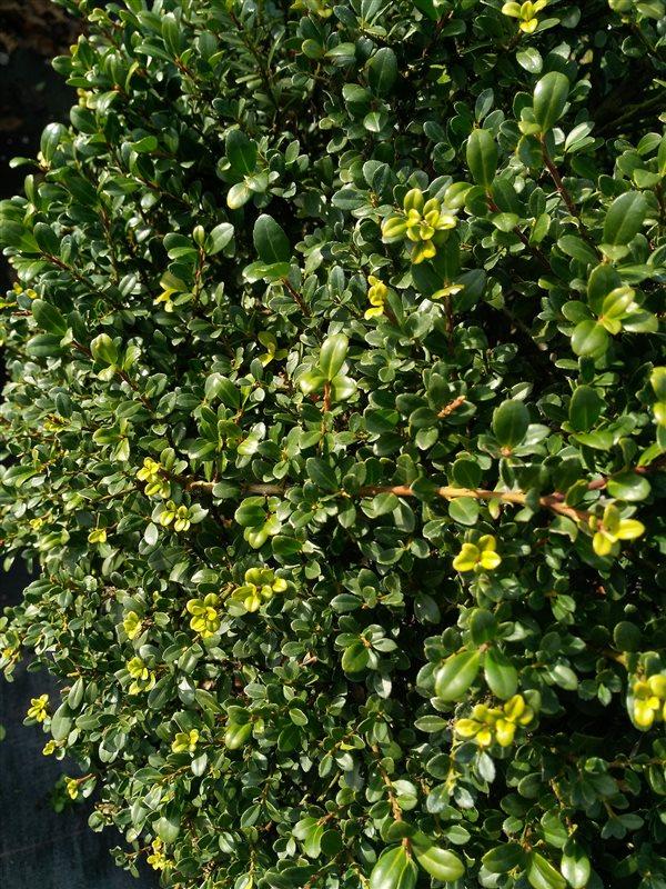 Ilex crenata Green Glory picture 4
