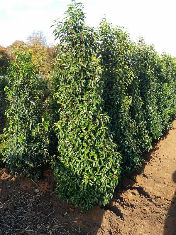 Prunus l. 'Angustifolia' picture 2
