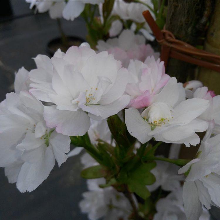 Prunus serr. 'Amanogawa' picture 2