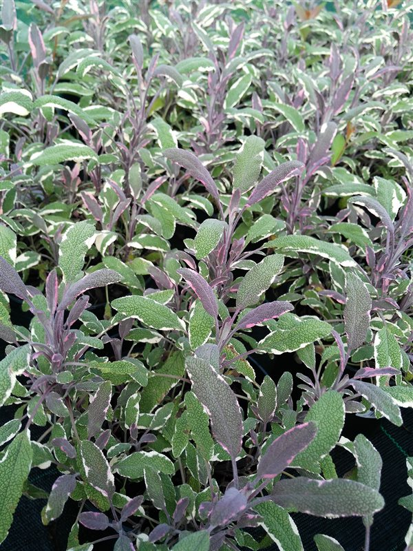 Salvia off. 'Tricolor' picture 2