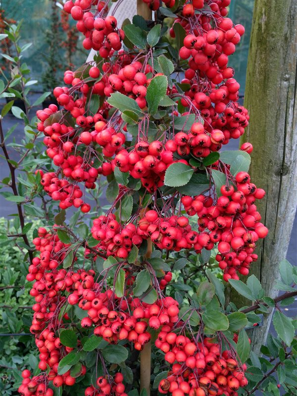 Pyracantha cocc. 'Red Column' picture 6