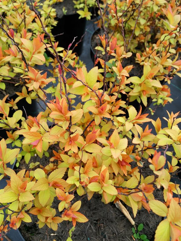 Spiraea japonica Goldflame picture 2