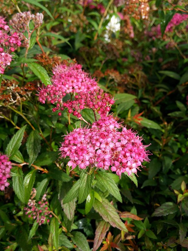 Spiraea japonica 'Anthony Waterer' picture 2