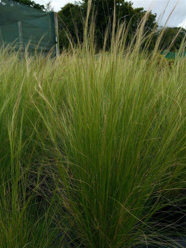 Stipa tenuissima 'Ponytails' picture 4