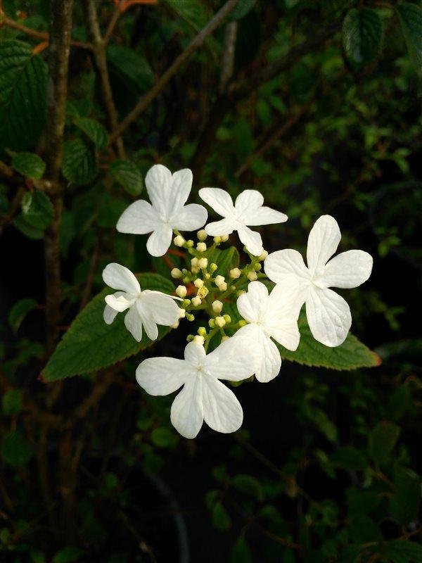 Viburnum plic. 'Summer Snowflake' picture 4