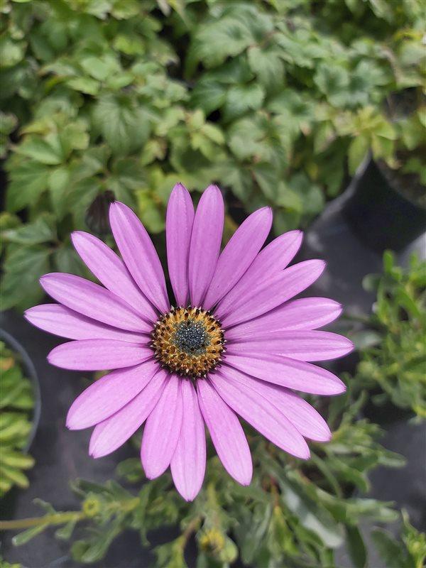 Osteospermum jucundum compactum picture 2