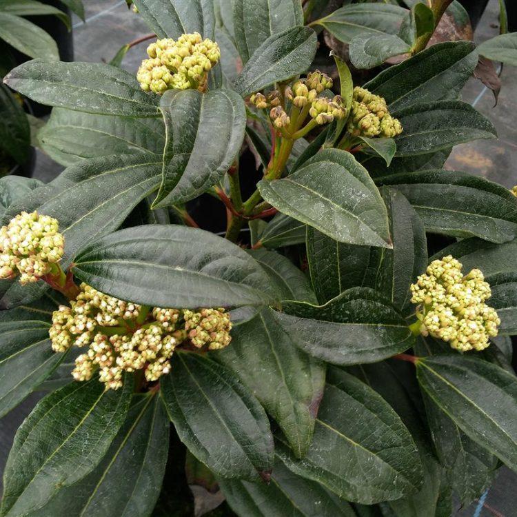 Viburnum davidii picture 3