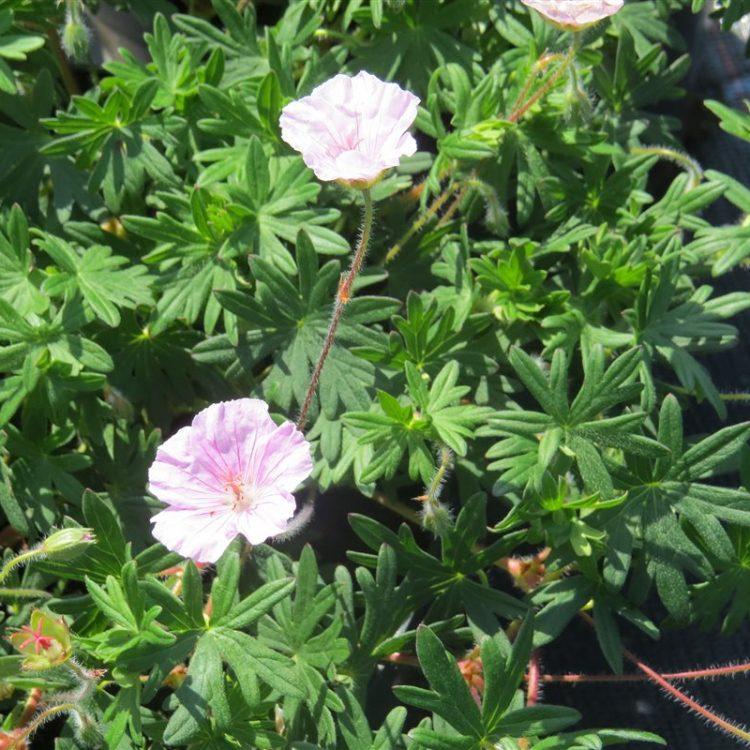 Geranium sanguineum Striatum