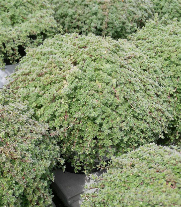 Thymus praecox 'Pseudolanuginosus' picture 2