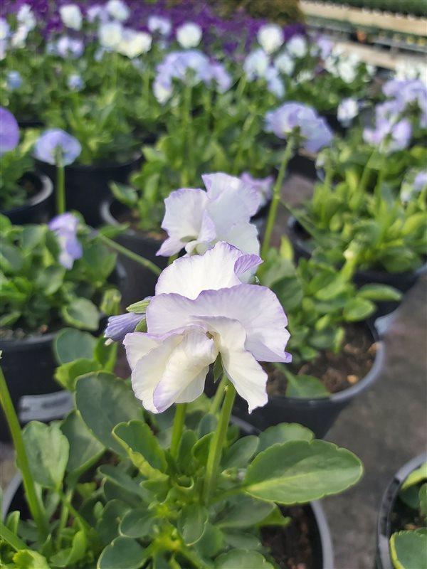 Viola 'Blue Sails' (R) picture 2