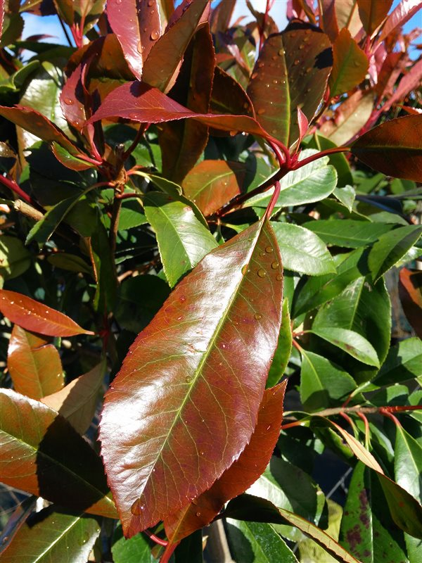 Photinia fraseri 'Red Robin' picture 5