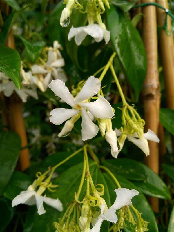 Trachelospermum jasminoides picture 3