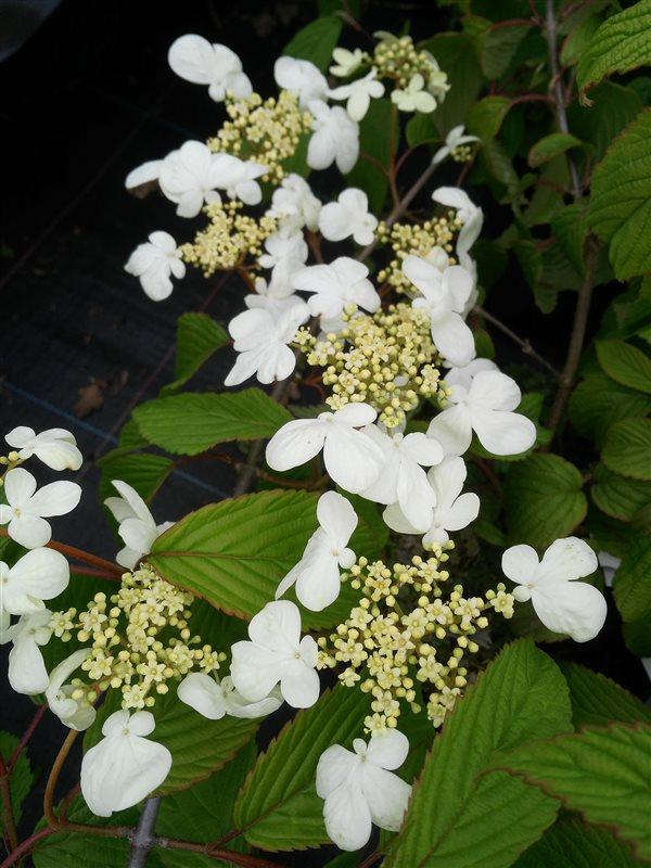 Viburnum plic. 'Mariesii' picture 3