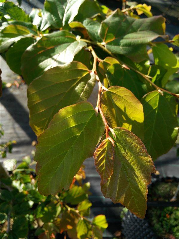 Parrotia persica picture 3