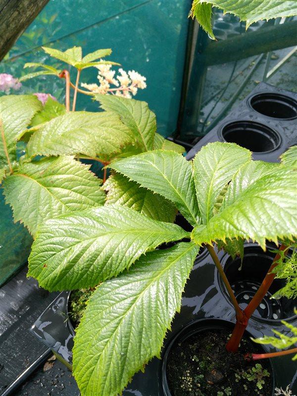 Rodgersia aesculifolia picture 2