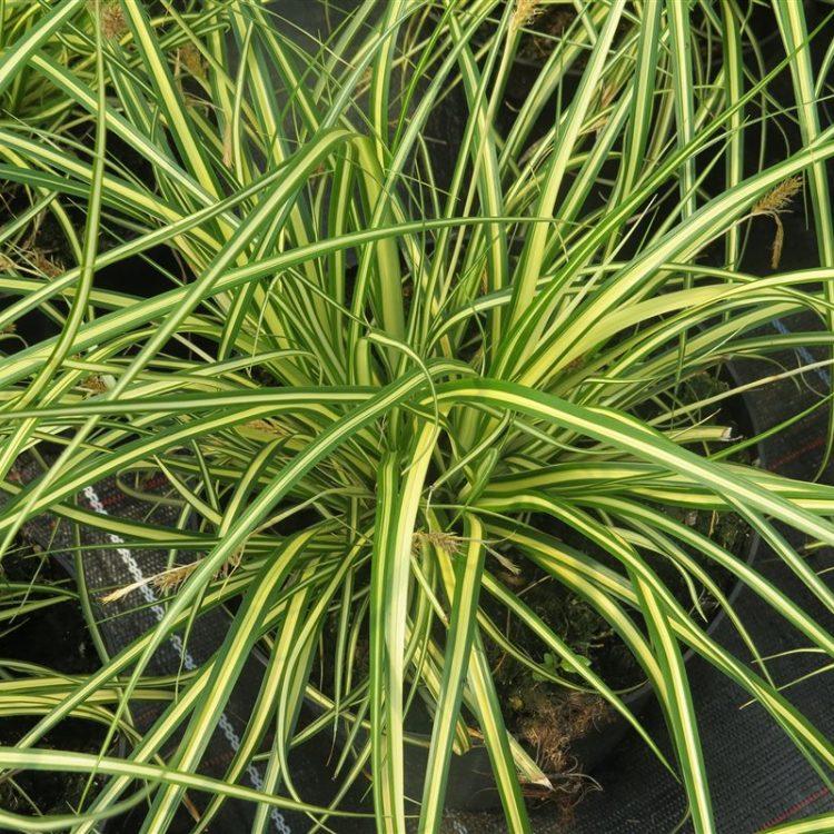 Carex oshim. 'Evergold' picture 3