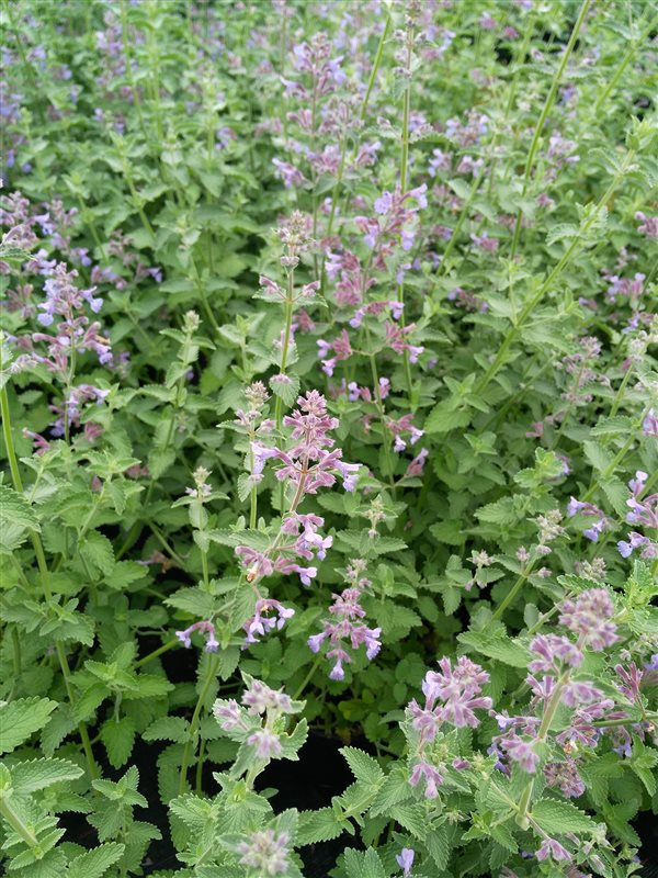 Nepeta 'Six Hills Giant' picture 5