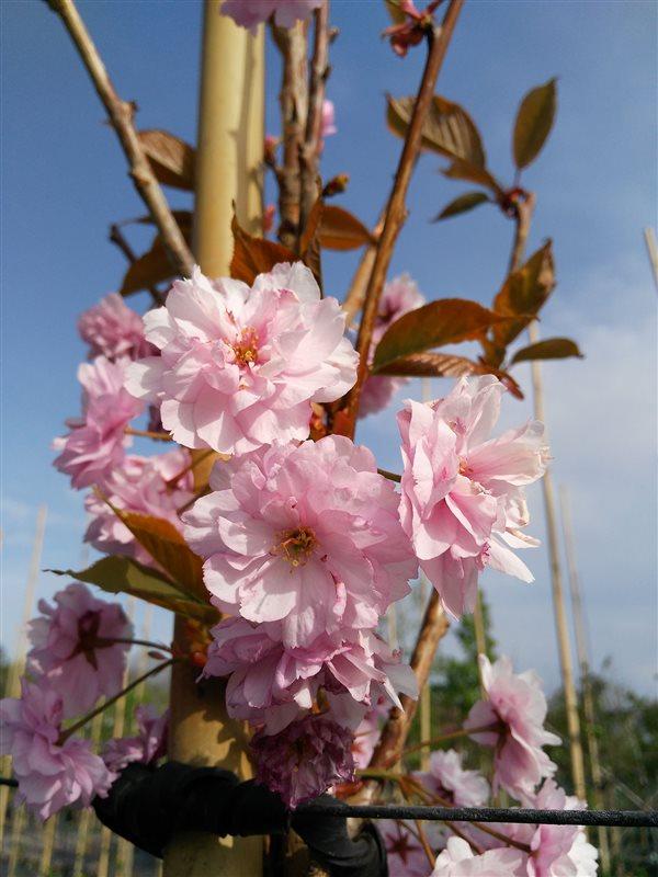 Prunus serr. 'Kanzan' picture 5
