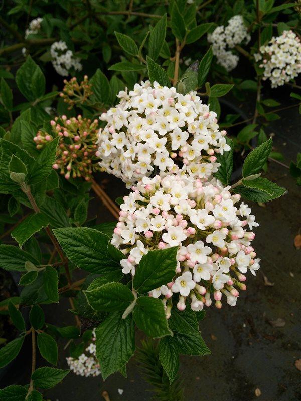 Viburnum burkwoodii* picture 4