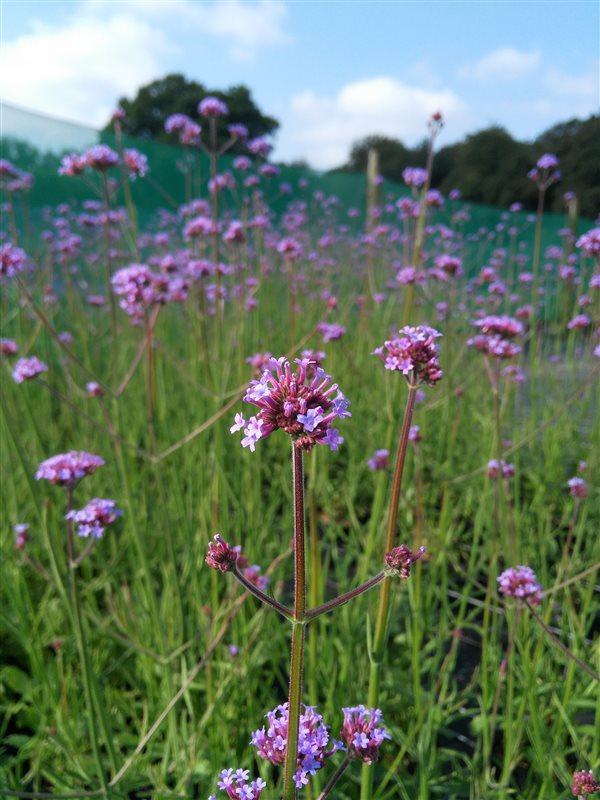 Verbena bonariensis picture 2
