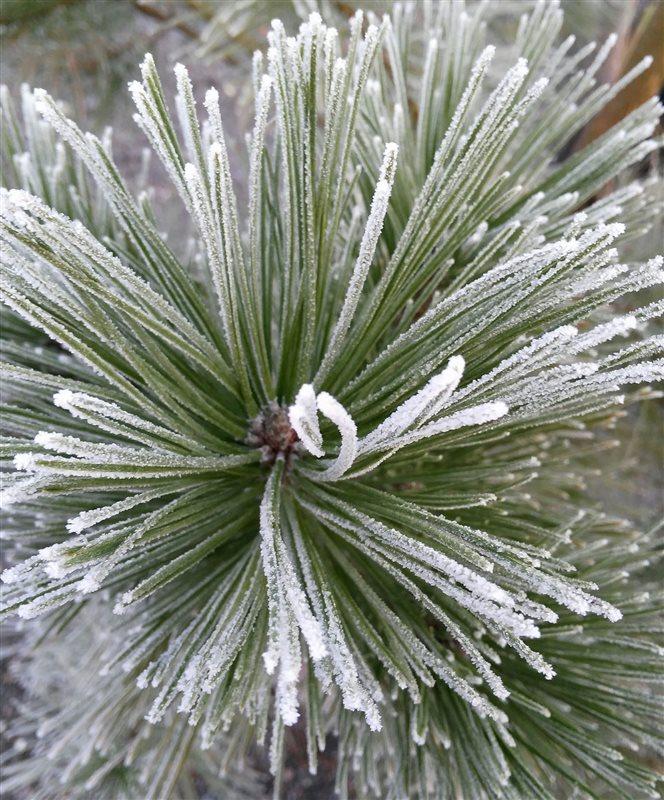 Pinus nigra picture 3