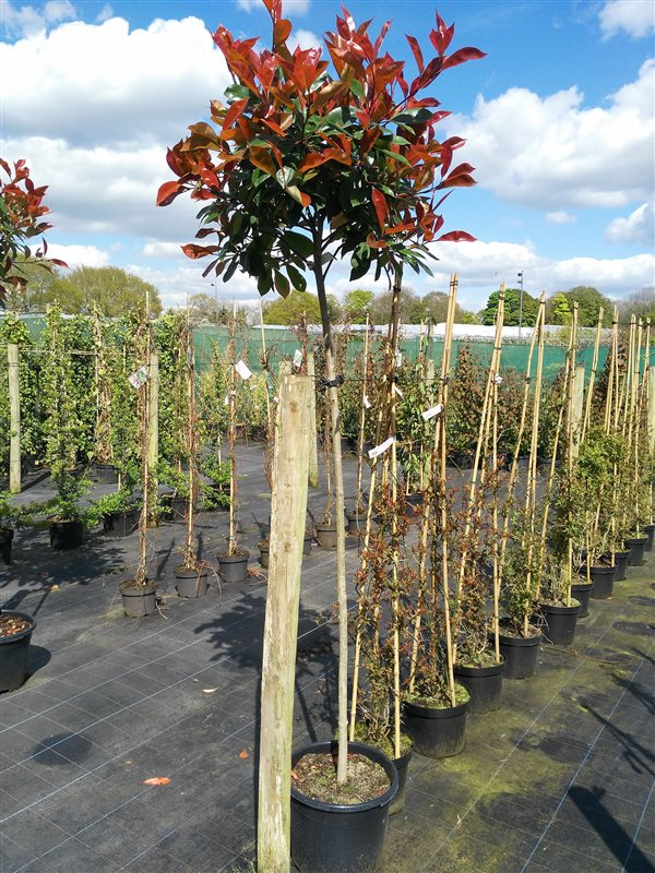 Photinia fraseri 'Red Robin' picture 3