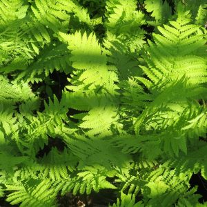 Lythrum sal. 'Robert'