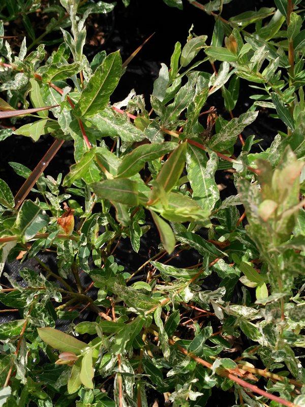 Salix integra 'Hakuro-nishiki' picture 2