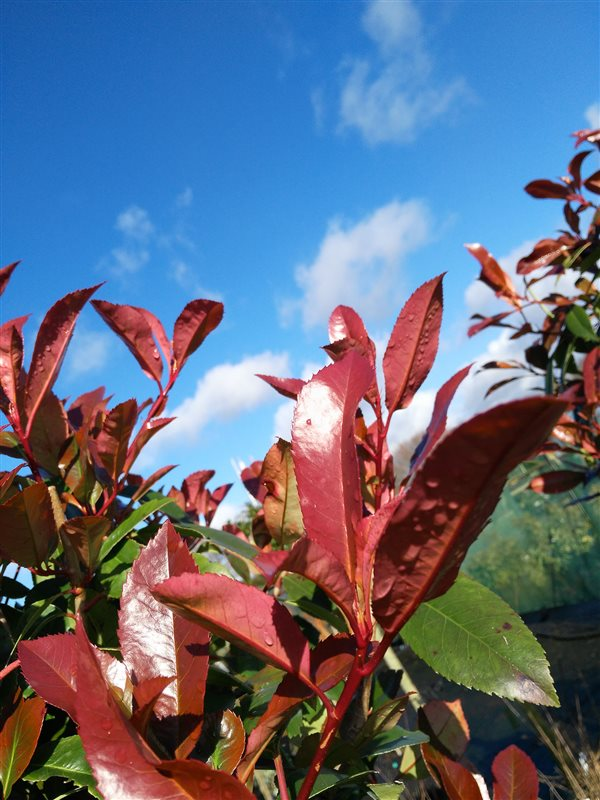 Photinia fraseri 'Red Robin' picture 6