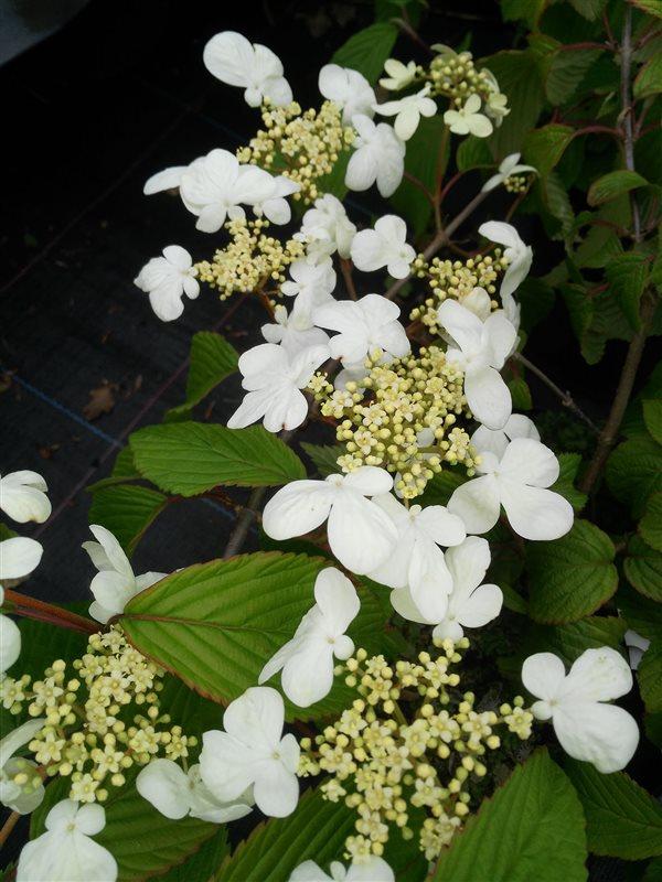 Viburnum plic. 'Mariesii' picture 4